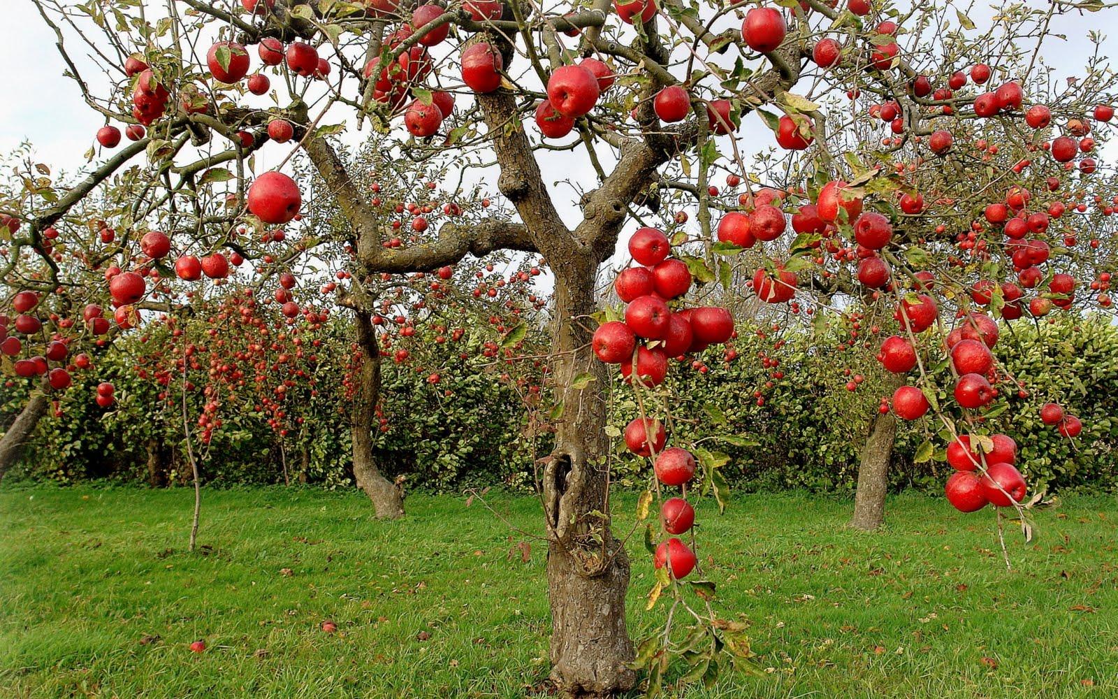 autumn-red-apples-1920x1200-manzanas-rojas-en-otoño